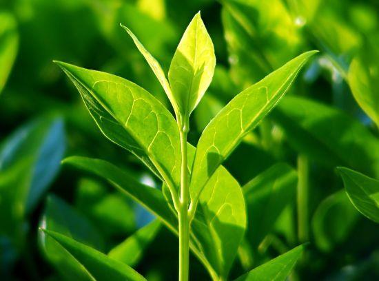 zöld teafalevel